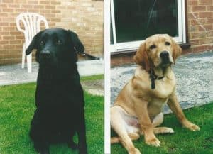 Golden retriever and black Labrador Photo